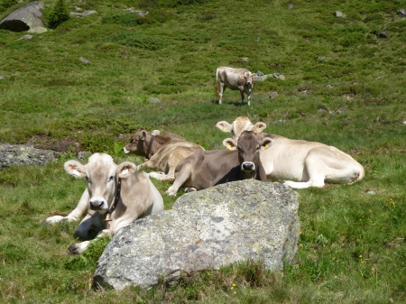 Swiss cows in the austrian alps Stock Photo - 14437425