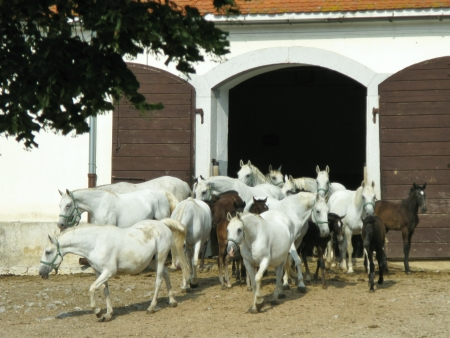 The brown foals of the white Lipizzaner horses photo