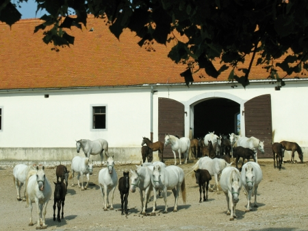 The brown foals of the white Lipizzaner horses in Slovenia photo