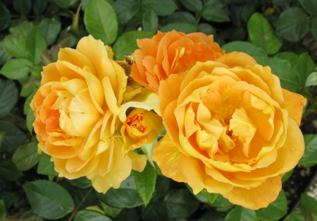 Yellow roses in a garden photo
