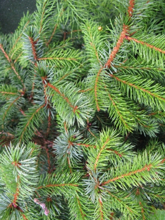 A closeup of a norway spruce pine tree