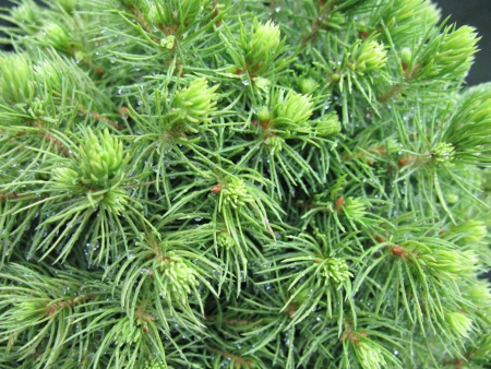 picea: A closeup of a spruce pine tree Stock Photo