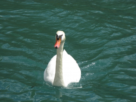 A mute swan swimming in a river Stock Photo - 14476325