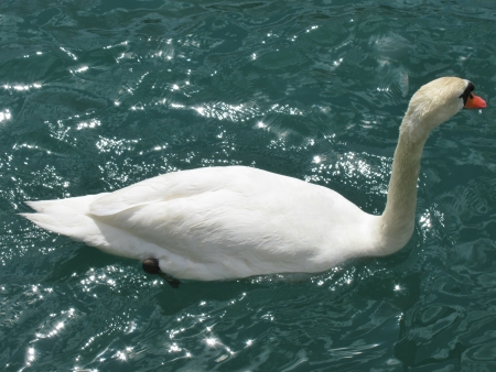 A mute swan swimming in the river Stock Photo - 14502463
