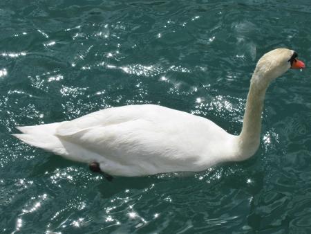 percept: A mute swan swimming in the river