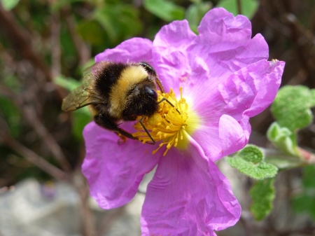 A pink flowering rockrose  cistus albidus  with a bee photo