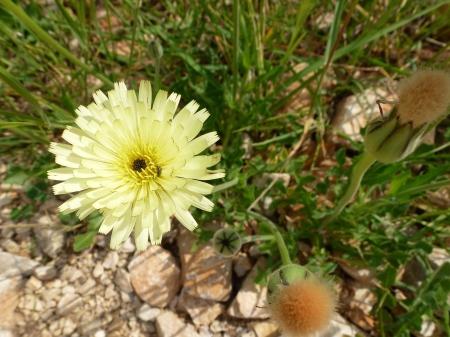 hawkweed: Yellow flowering leavy hawkweed  hieracium umbellatum