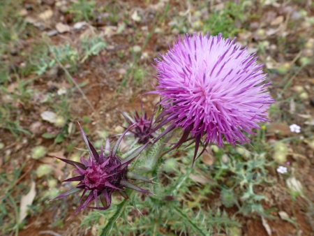 A flowering plume thistle  cirsium vulgare  photo