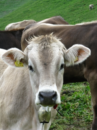 A portrait of a young cow with a cowbell Stock Photo - 14517544