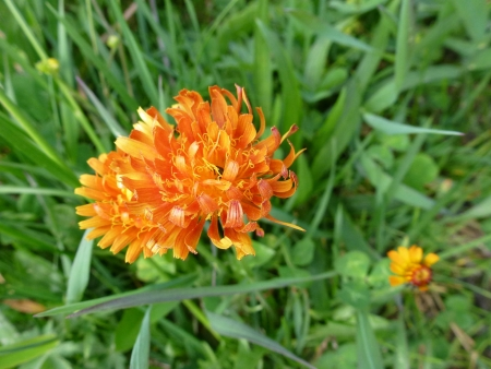hawkweed: Orange hawkweed flower  hieracium aurantiacum Stock Photo