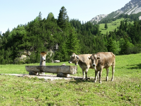 Swiss cows in the mountains with cow bells and a watering trough Stock Photo - 14518028