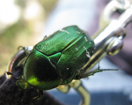 scarabaeidae: Green rose chafer  Cetonia aurata