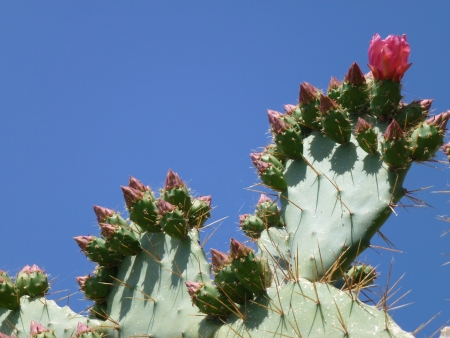 flowering cactus: A red flowering cactus opposite a blue sky Stock Photo