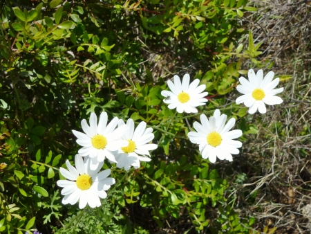 Wild marguerite flowers in the mountains photo