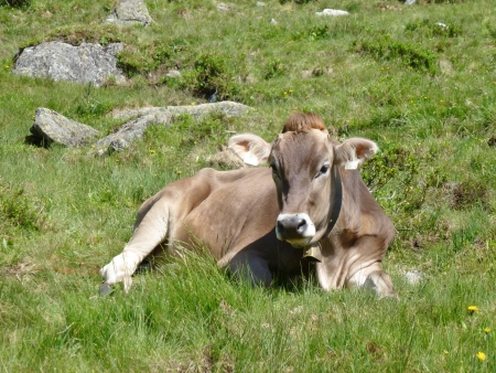 A young Swiss cow in a meadow Stock Photo - 14577943