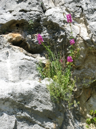 Antirrhinum majus or common snapdragon is a wildflower Stock Photo - 14650420