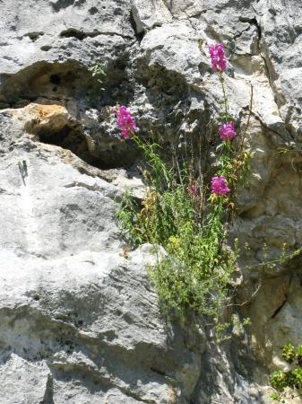 antirrhinum majus: Antirrhinum majus or common snapdragon is a wildflower