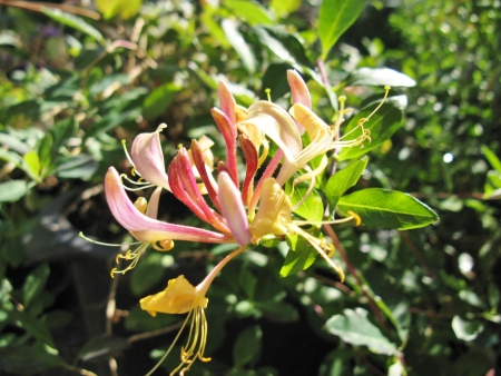 A blooming honeysuckle flower in summer photo