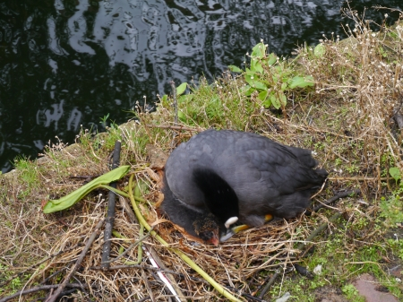A coot on a nest along a canal in the city photo