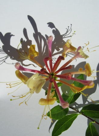 A blooming honeysuckle flower and its shadow photo