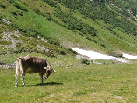 Cow in a meadow with snow along the Silvretta high way in Austria photo