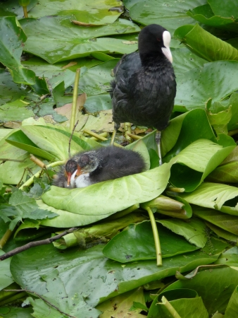 A coot  fulicia atra  with two young ones in a ditch with water lilies photo