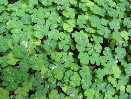 leguminous: A field of the leaves of clover