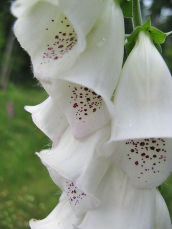 spotted flower: A flowering common foxglove  digitalis purpurea  with spotted flower tupes Stock Photo