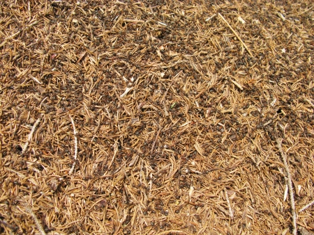 An ant hill is a pile of earth sand and pine needles in the forest photo