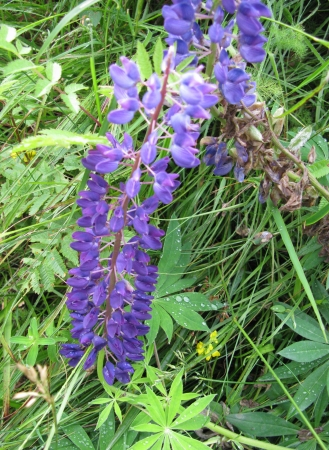 Flowering blue wild lupin plant photo