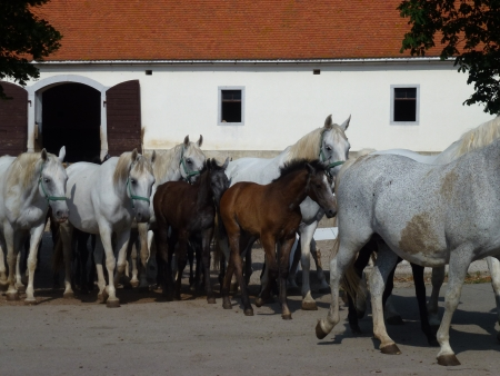 lipizzaner: The brown foals of the white Lipizzaner horses in Slovenia