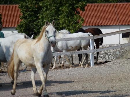lipizzaner: White lipizaner horses in Lipica in Slovenia