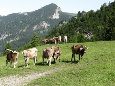 Swiss cows in the mountains of Liechtenstein Stock Photo - 14706076