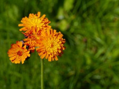 hawkweed: Orange hawkweed flower  hieracium aurantiacum Stock Photo