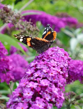 Red admiral   buddleja davidii  butterfly on a butterfly bush photo