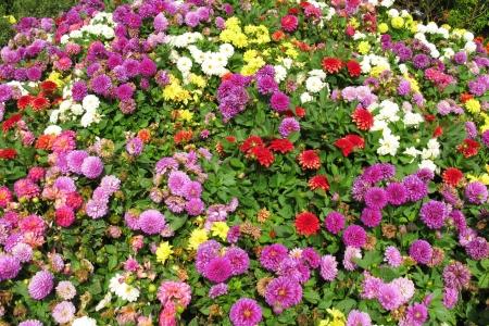 bushy: A colourful garden with an assortment of flowering dahlia bulbs