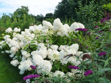 Flowering hortensia  hydrangea paniculata  bunches in a park