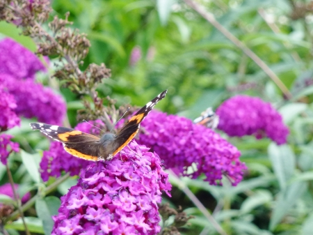 admiral: Red admiral   buddleja davidii  butterfly on a butterfly bush