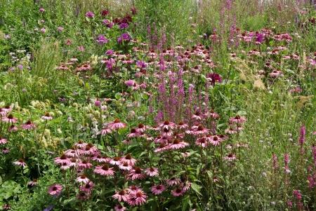 echinacea purpurea: A field of purple coneflowers  echinacea purpurea  Stock Photo