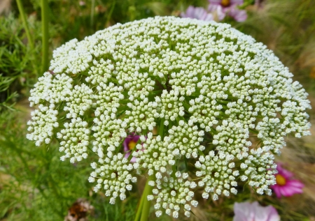 A white flower of the carrot or parsley family Stock Photo - 14785368