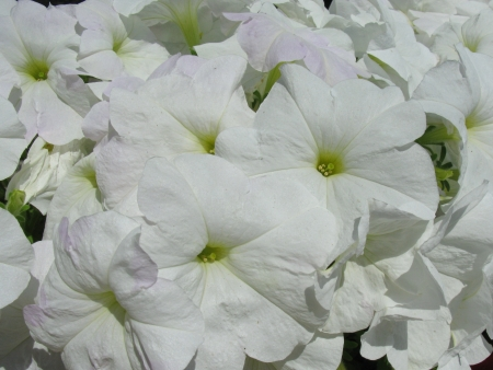 Una planta de floración blanca Hortensia Foto de archivo - 14929626