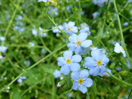 county side: myosotis or forget me not flowers