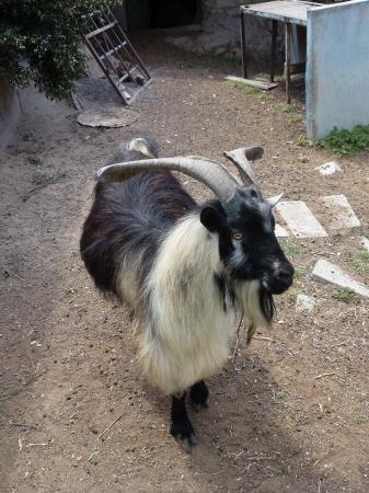 landrace: Landrace goat in a paddock