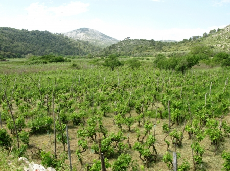 A wine vineyard at the island Lastovo in Croatia photo
