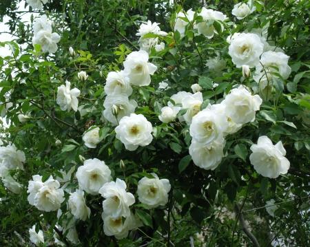 jasmine bush: A blooming Jasmine bush with white flowers