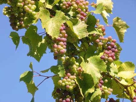 Clusters of immature grape  vitis vinifera  berries at  a bushe opposite a blue sky in summer photo