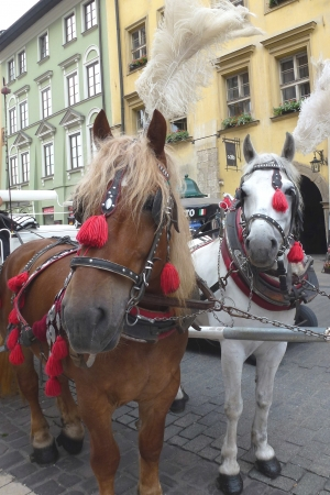 carriage and pair with white plumes in Krakow in Poland photo