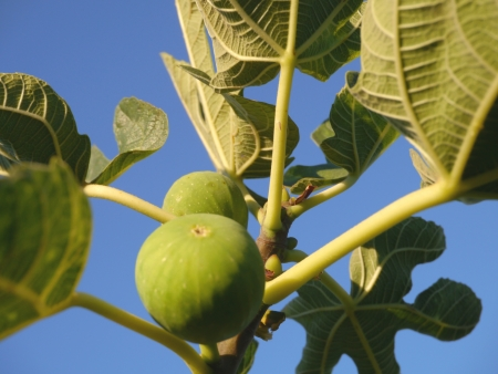 Figs in a tree opposite a blue sky photo