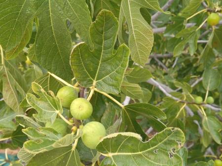 feigenbaum: Feigen in einem Feigenbaum