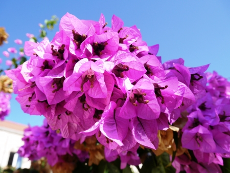 Blooming bougainville flowers opposite a blue sky Stock Photo - 15854561